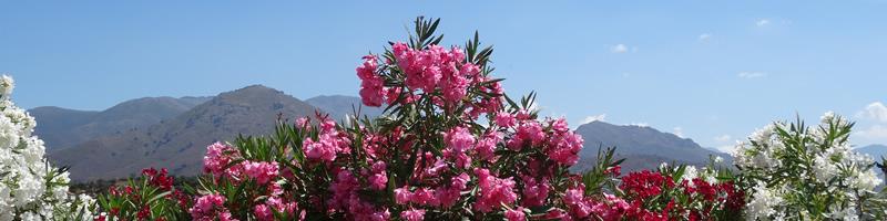 FleursCorse.jpg